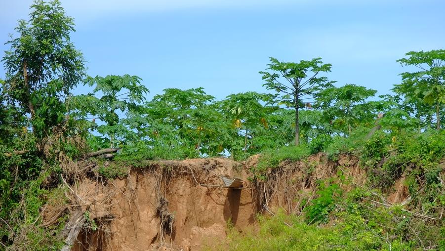 La culture de la Papaye le long de la Tambopata